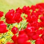 Tulpen, Blütenmeere und Farben überall :)