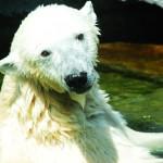 Das ist sie, unsere Eisbärdame :)