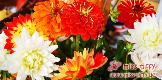 Frisch vom Blumen-Feld: Herrliche Herbstdahlien