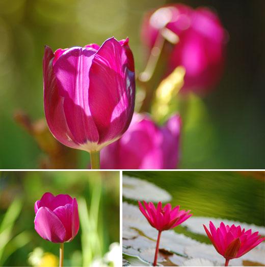 Tulpen im Garten und Seerosen in der Wilhelma